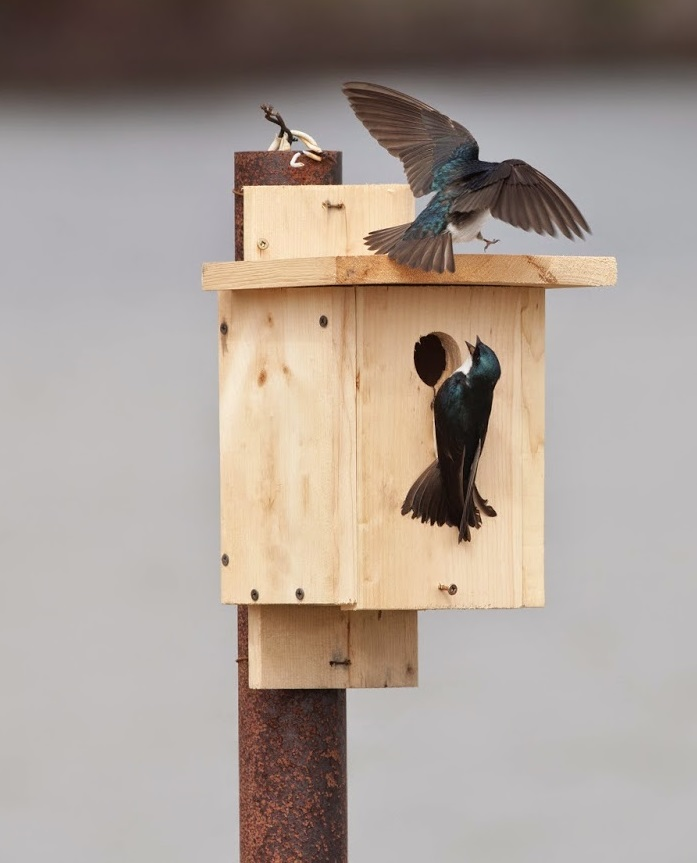 tree swallow pair box2